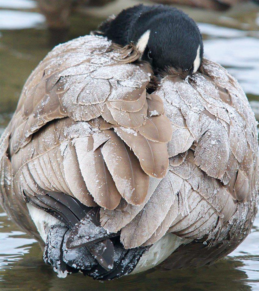 Photographing wildlife in winter: Goose
