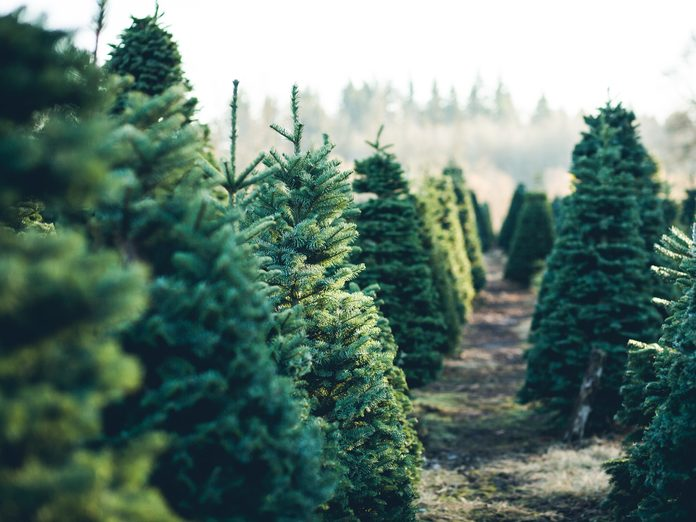 Best time to buy a christmas tree - Christmas tree farm