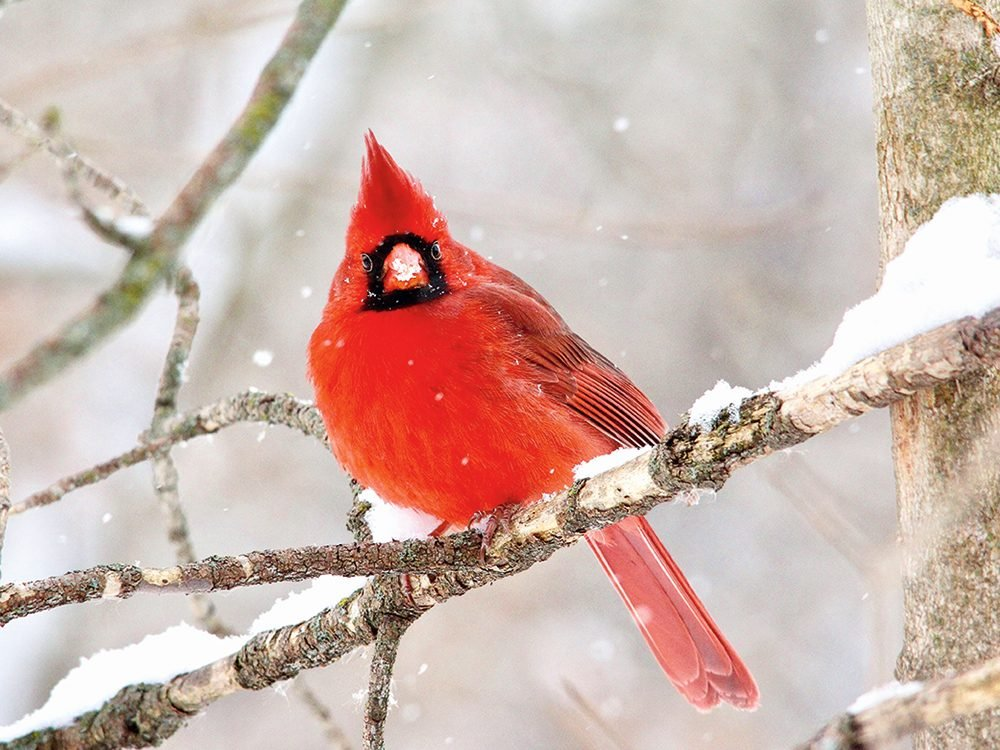 Types of birds in Canada: Cardinal