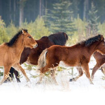 Band on the Run: Photographing the Wild Horses of Alberta