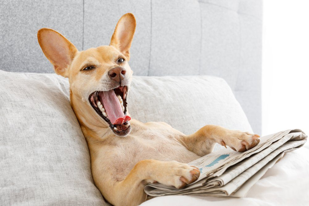 dog in bed resting and yawning , with newspaper , dreaming in bedroom under the blanket , very tired or sick and ill