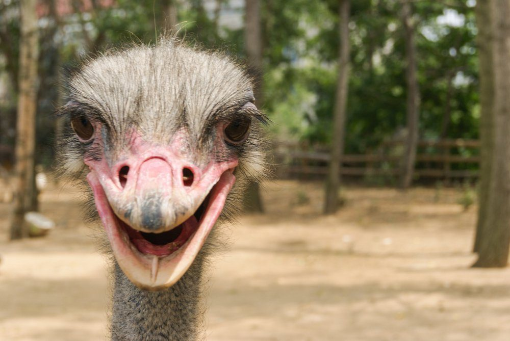close-up picture of ostrich's head