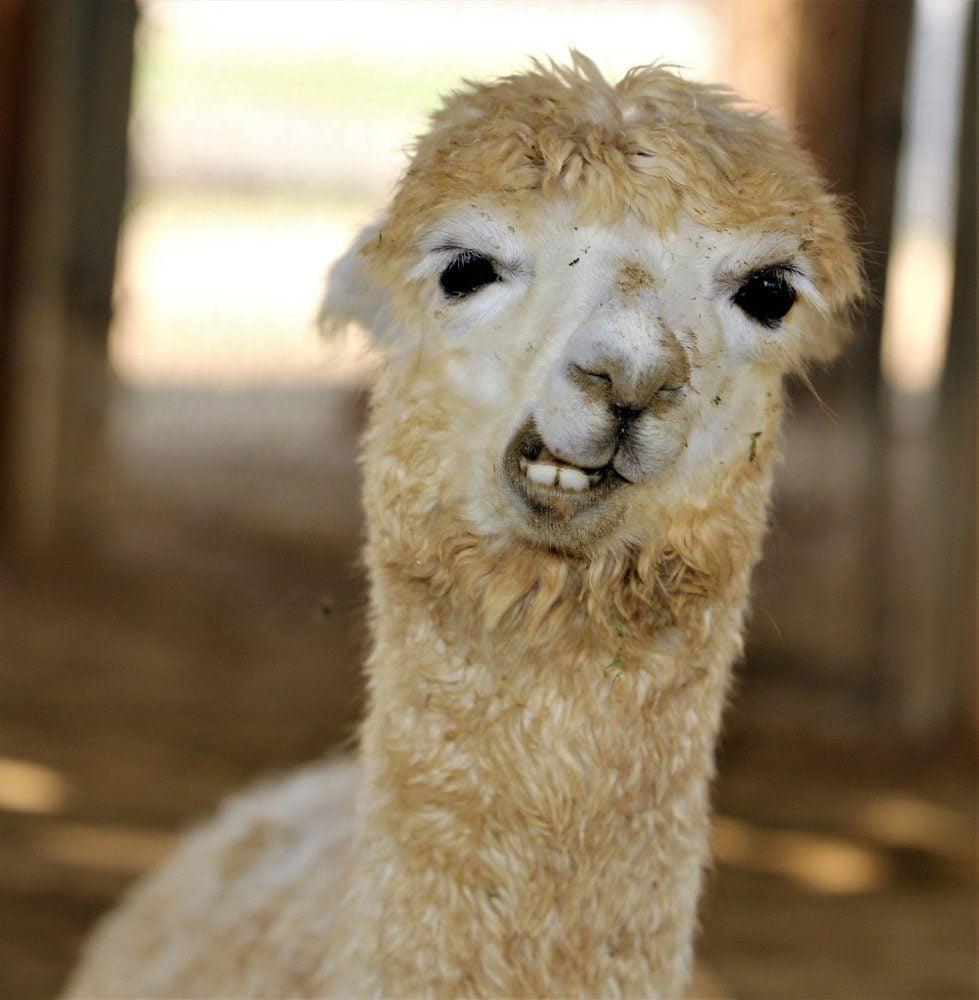 Funny Faced Llama