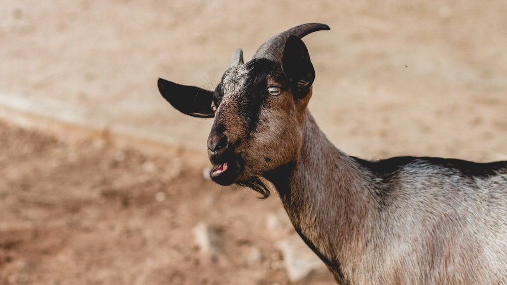 Funny Goats Screaming