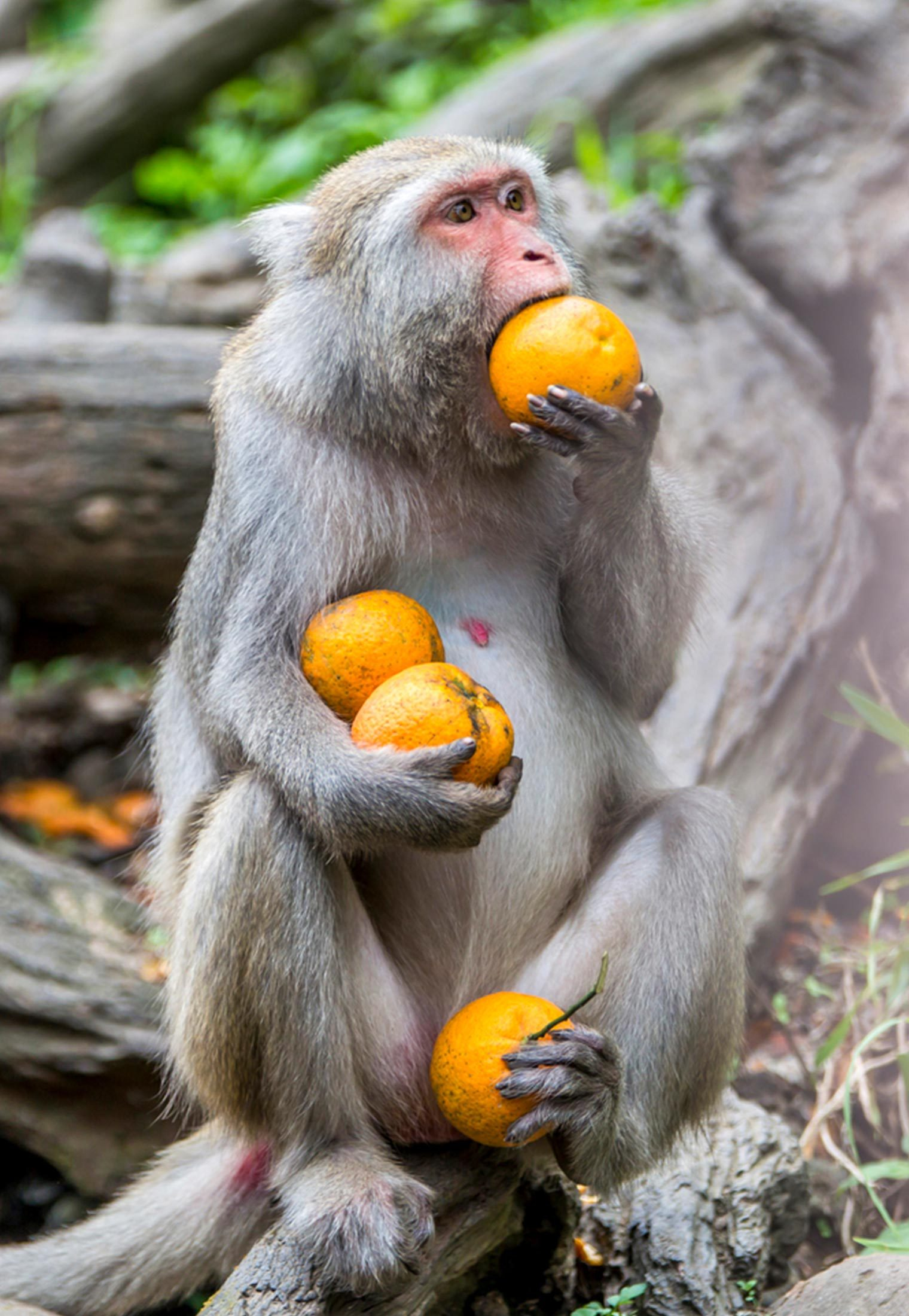 Monkey with oranges
