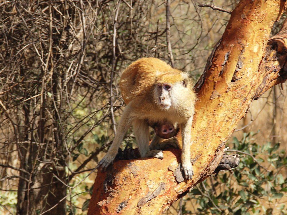 Wild monkey in Senegal