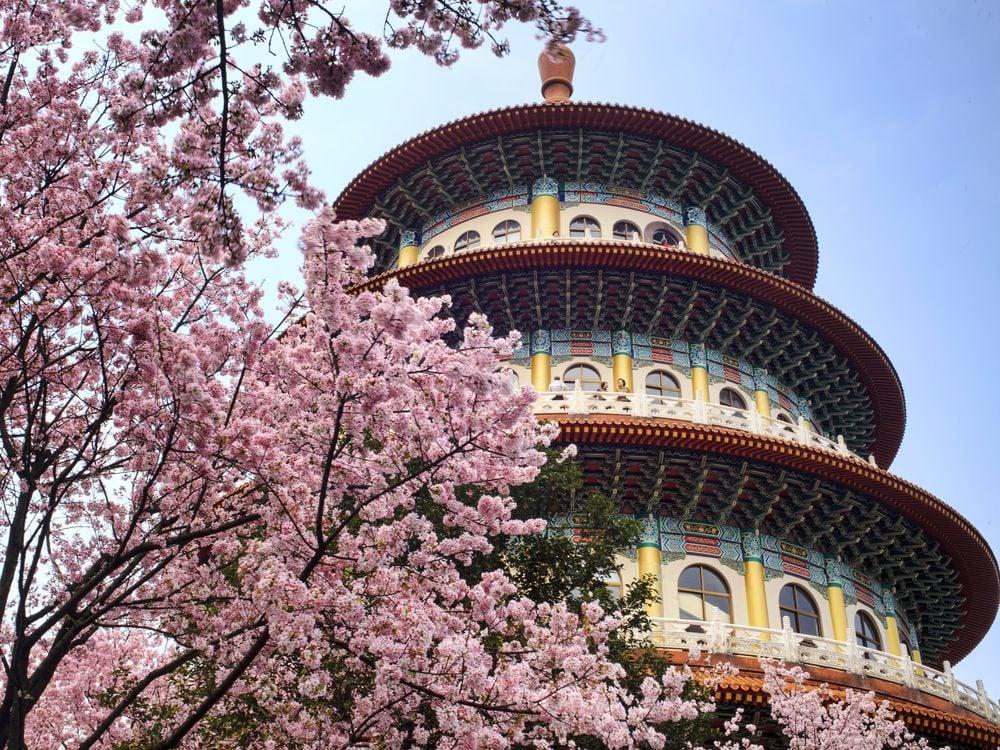 Cherry blossom tree in Taiwan