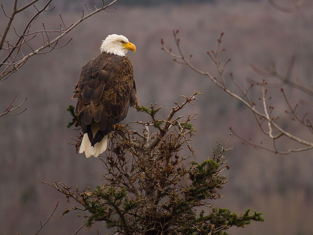 Eagle in Canadian forest