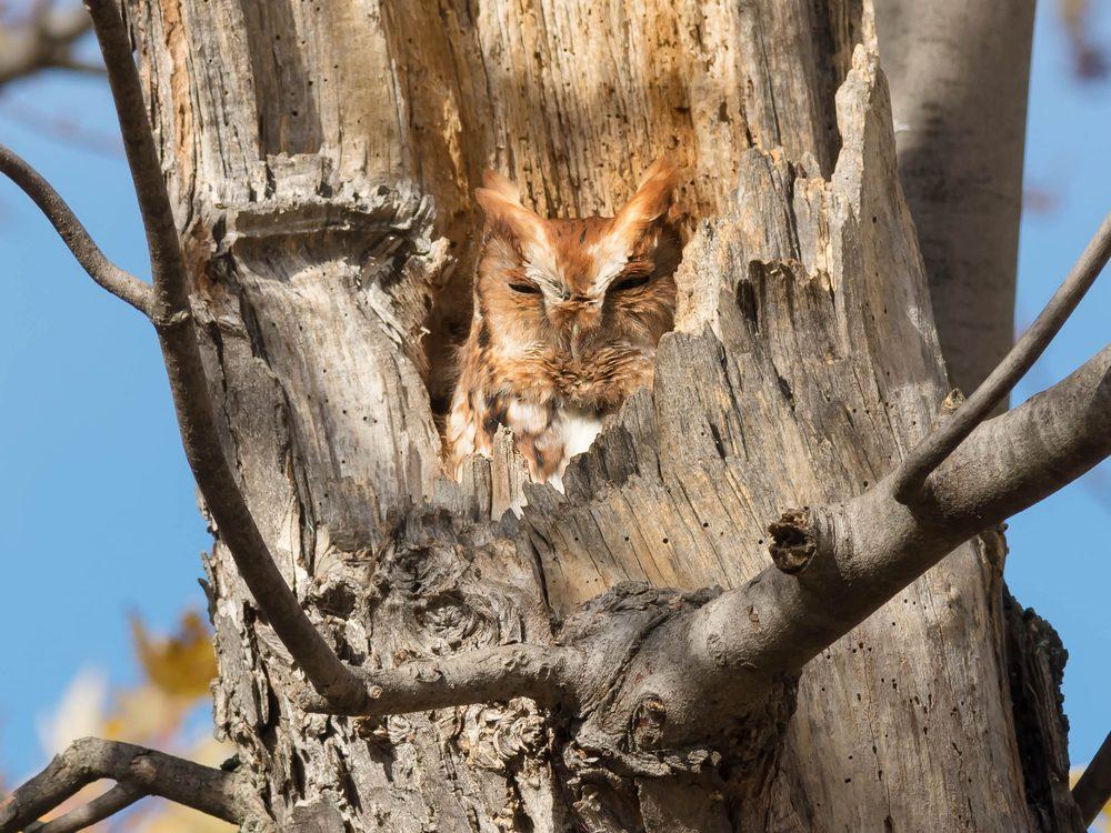 Red owl sleeping in tree