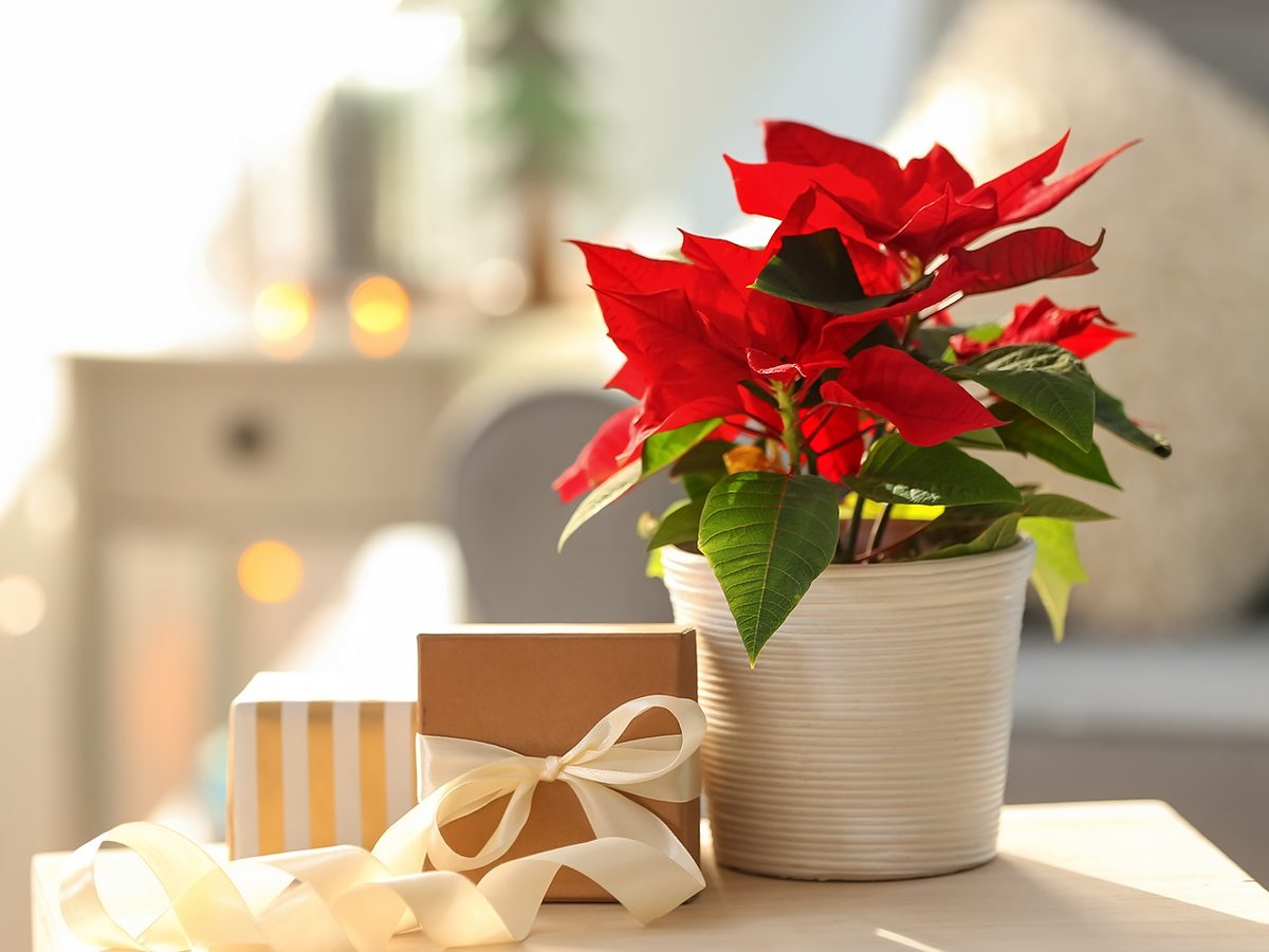 How to care for your poinsettia
