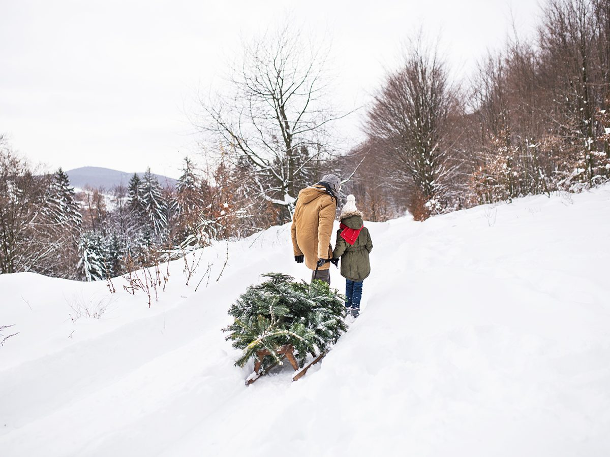 Uses for Christmas trees after the holidays - Grandfather and small girl getting a Christmas tree in forest