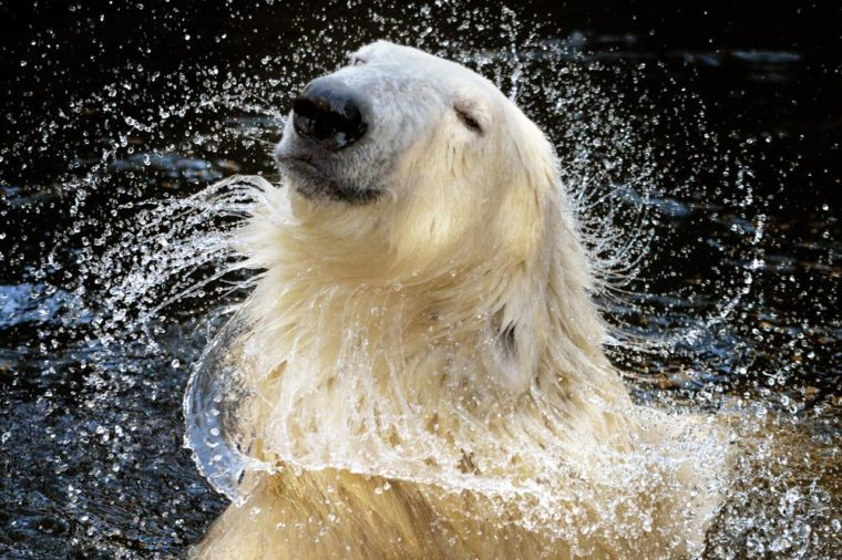 """Because I'm worth it!"", a portrait of polar bear who appears to be auditioning for a shampoo advert as it shakes itself dry in the Wildlands Adventure zoo in Emmen, the Netherlands"