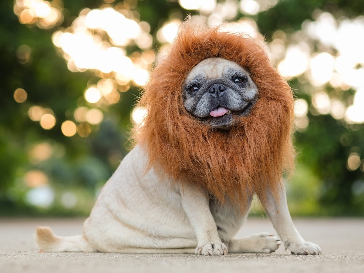 Best Reader's Digest jokes of all time - dog dressed as lion