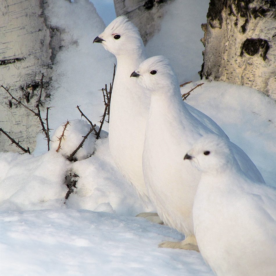 Canadian winter ptarmigans