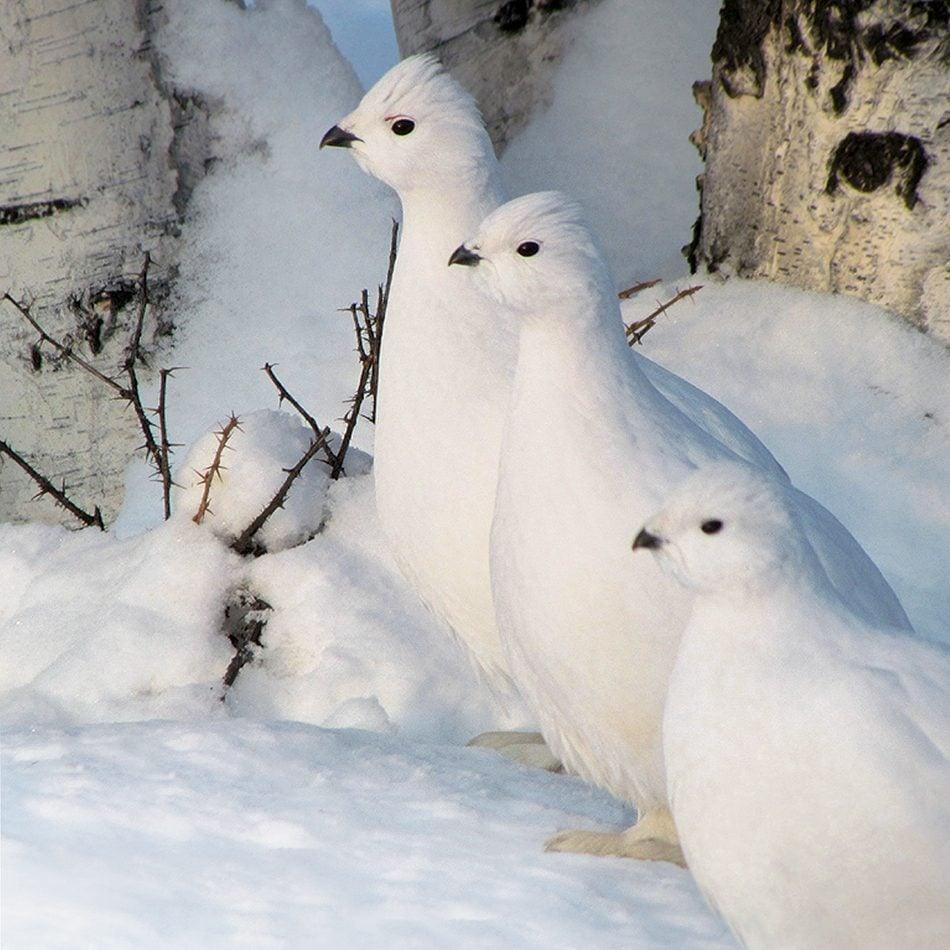 Canadian winter ptarmigans