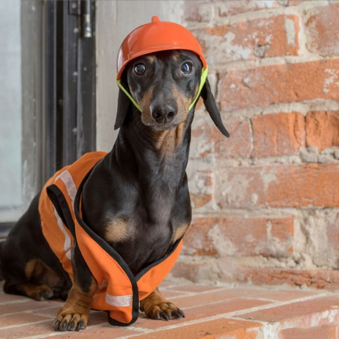 Dog dressed as construction worker