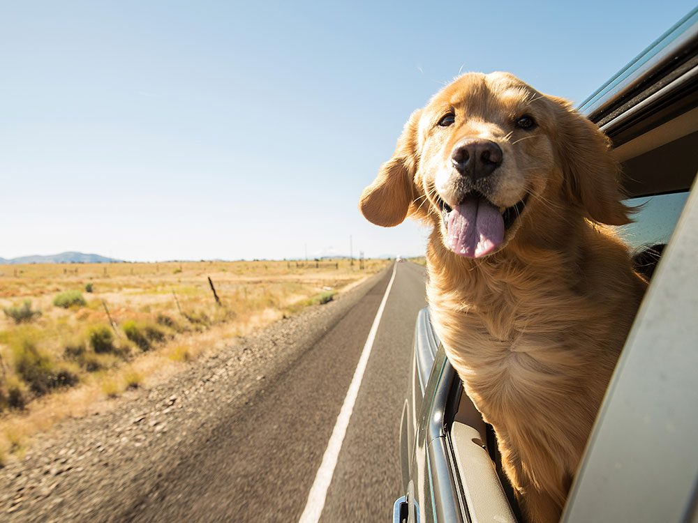 Don't let dogs hang their heads out the window on a road trip