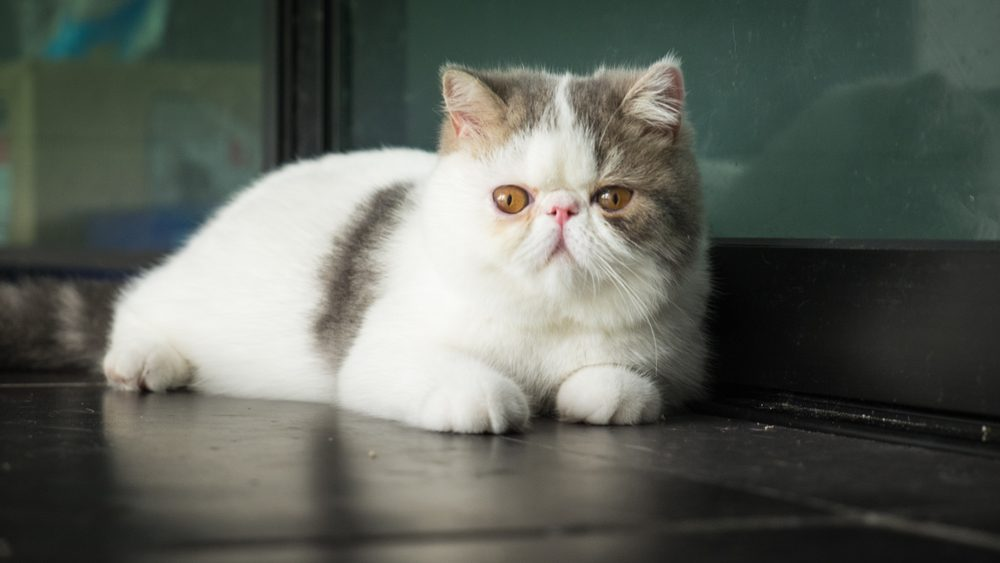 The Exotic Shorthair is a breed of cat developed to be a short-haired version of the Persian