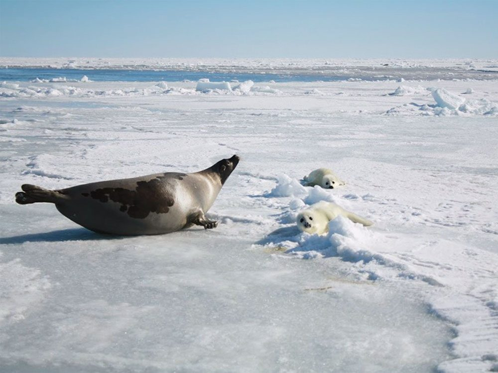 Harp seal watching