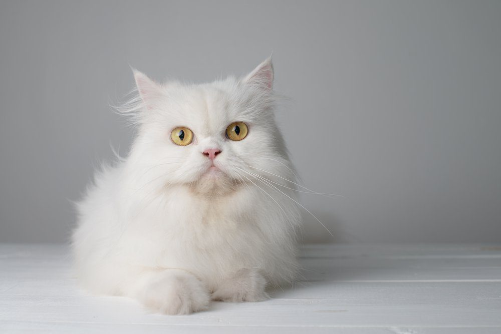 Studio portrait photo of white persian cat sitting on white table.