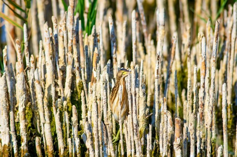 Heron and habitat. Lake reeds background. Camouflage animal. Bird: common Squacco Heron. Ardeola ralloides.