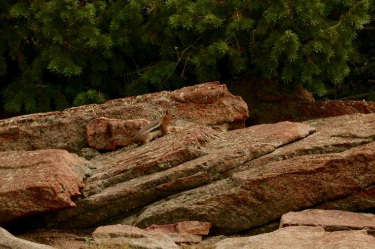 Wild Chipmunk on Rocks with Foliage Background