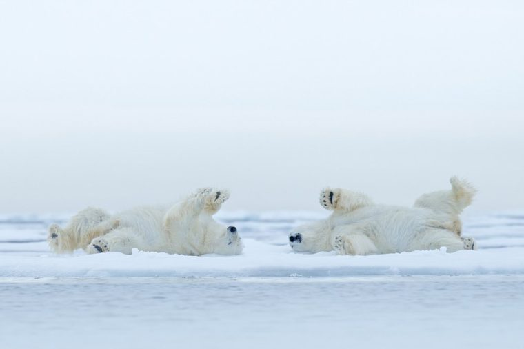 Two Polar bears lying on drifting ice with snow, white animals in the nature habitat, Canada. Funny scene with dangerous mammals from arctic nature.
