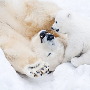 12 Polar Bear Pictures That Will Melt Your Heart