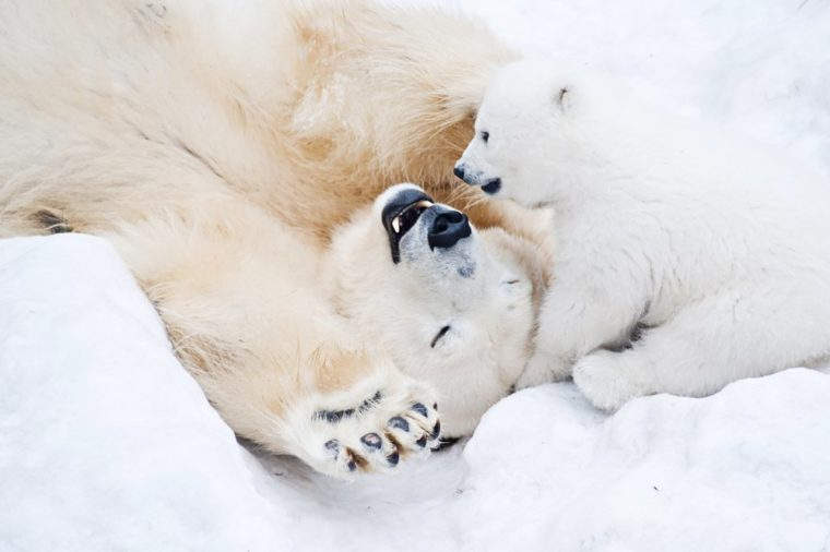 Female polar bear playing with her little cub on the snow