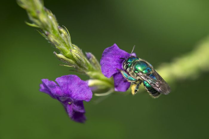 Orchid bee (Euglossini species) collecting pollen