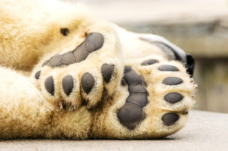 Paws of polar bear. Ursus maritimus.
