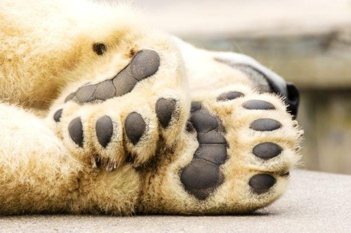 Paws of polar bear. Ursus maritimus.