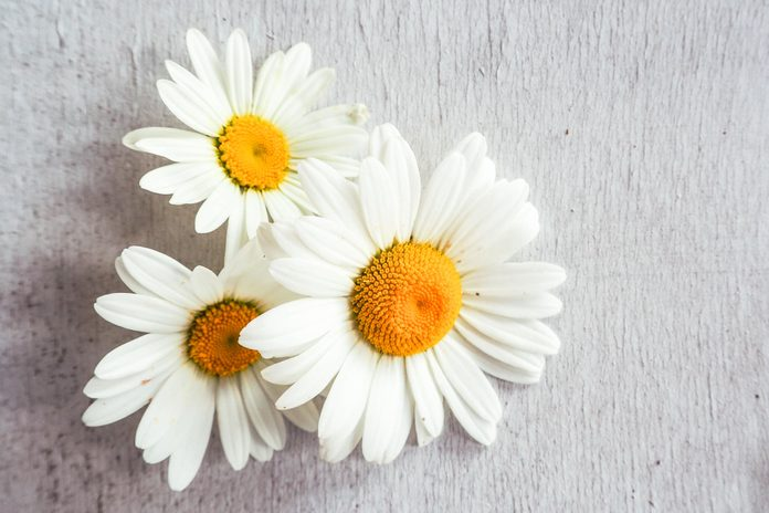 Chamomile flowers on wood background. Selective focus