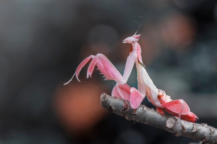 orchid mantis pink