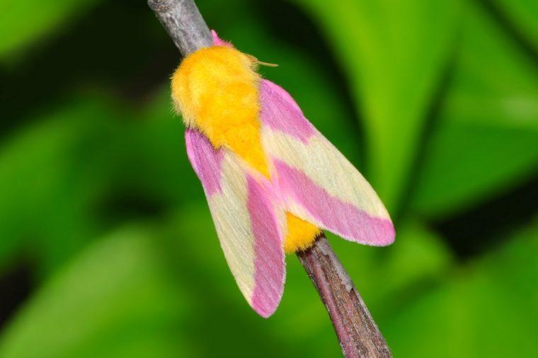 A Rosy Maple Moth (Dryocampa rubicunda) on a forest twig.