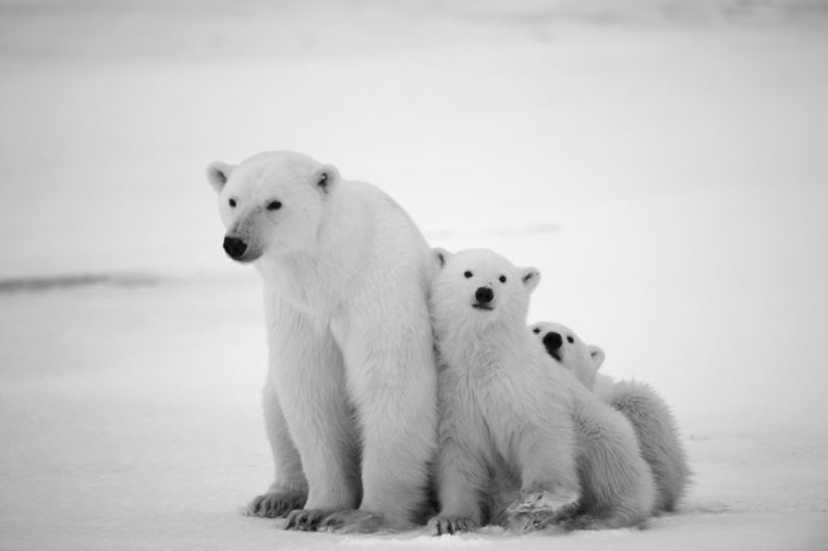 Polar she-bear with cubs. A Polar she-bear with two small bear cubs. Around snow.Black and white photo.