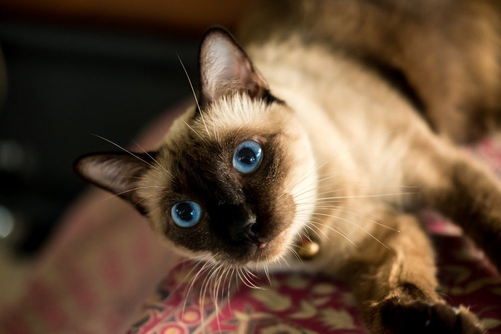 Siamese cat resting on cushions.