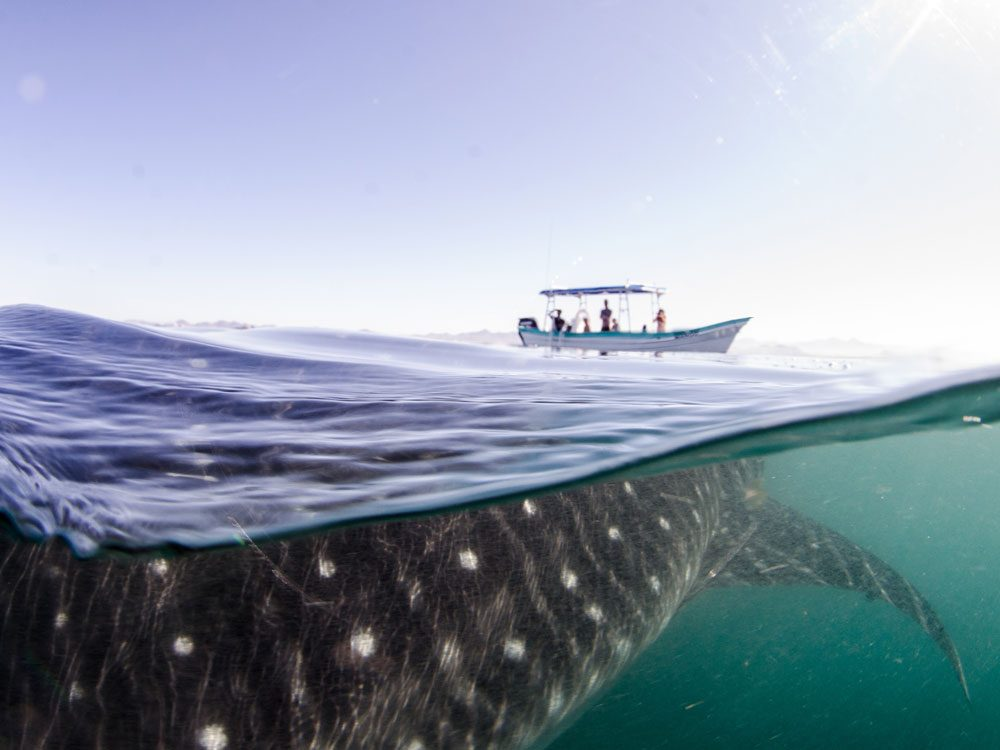 Whale shark in La Paz, Mexico