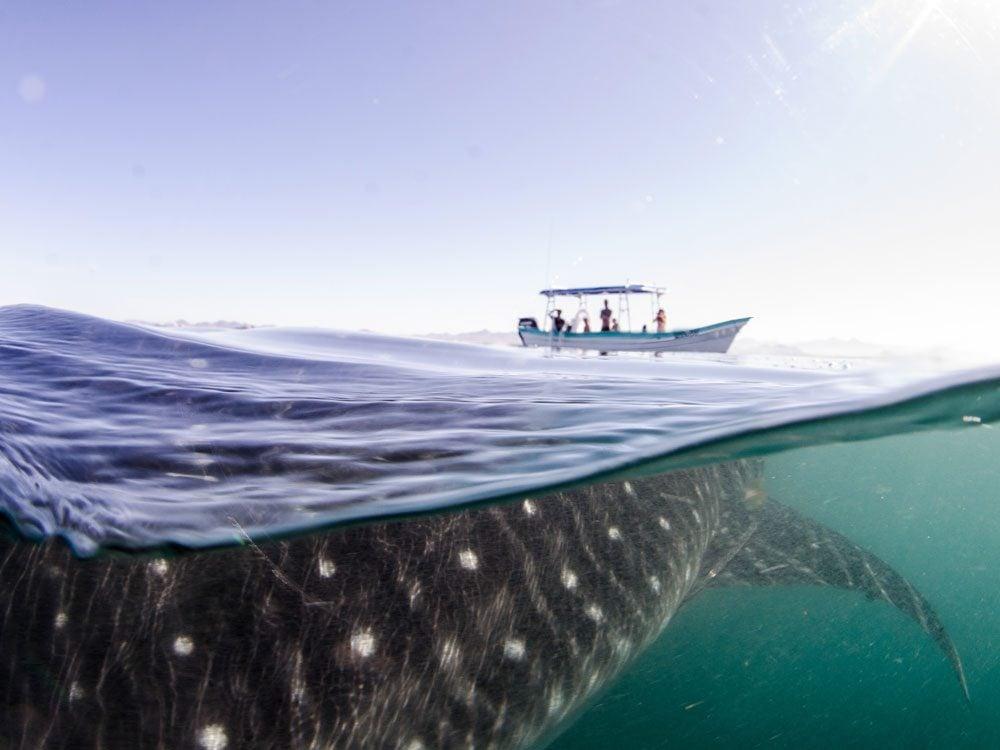 Whale shark in La Paz, Mexico