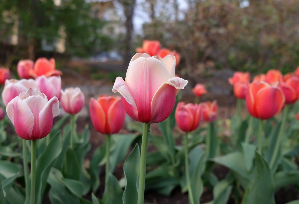 Red tulips in the garden bed with focus in the front and blurred background. Traditional International Women's Day flowers. Ottawa Tulip Festival.