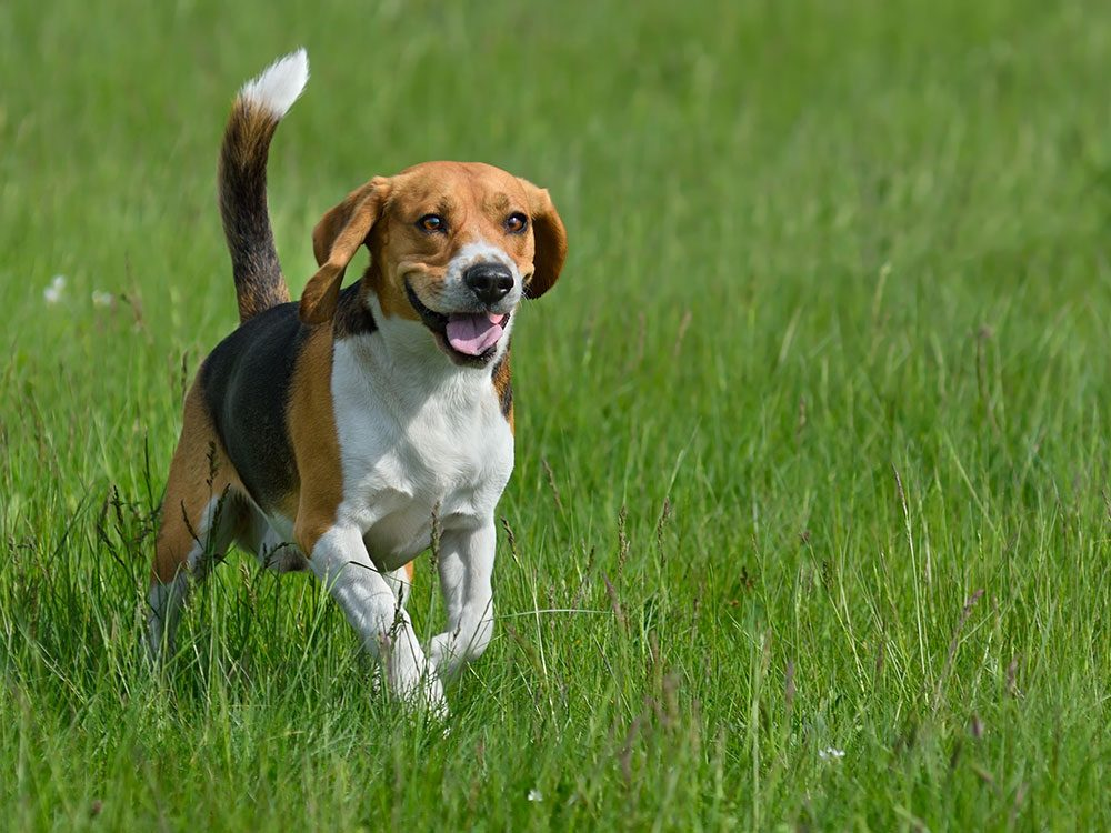 British royal family pets - beagle