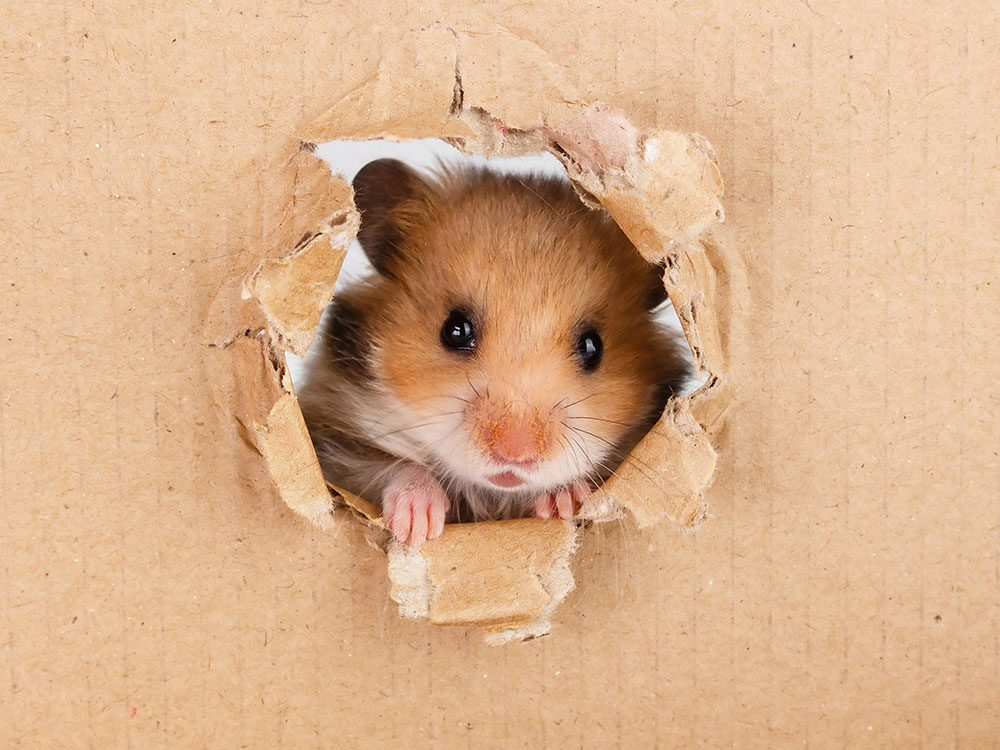 British royal family pets - hamster