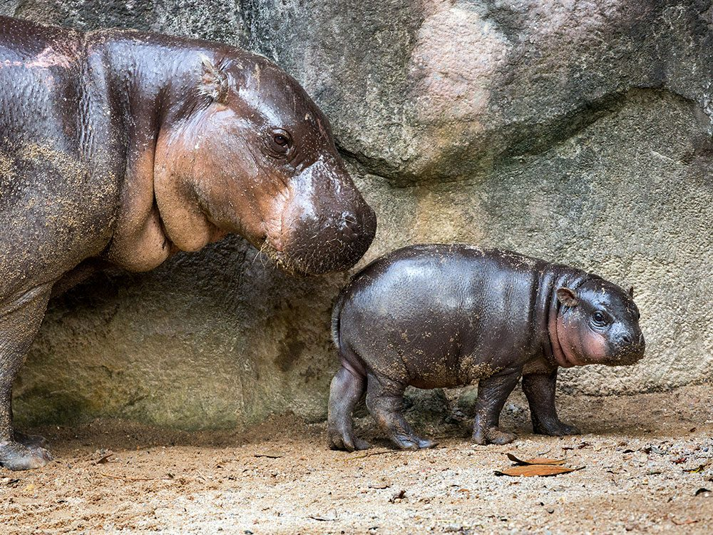 British royal family pets - pygmy hippos