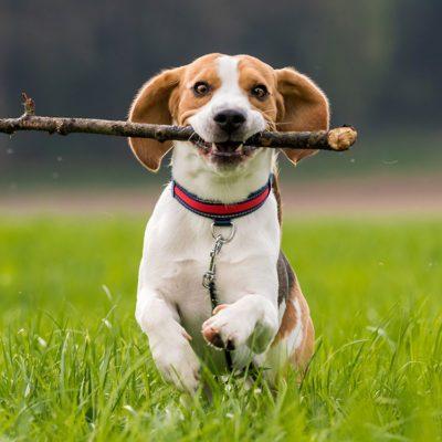 Health risks for pets - sticks