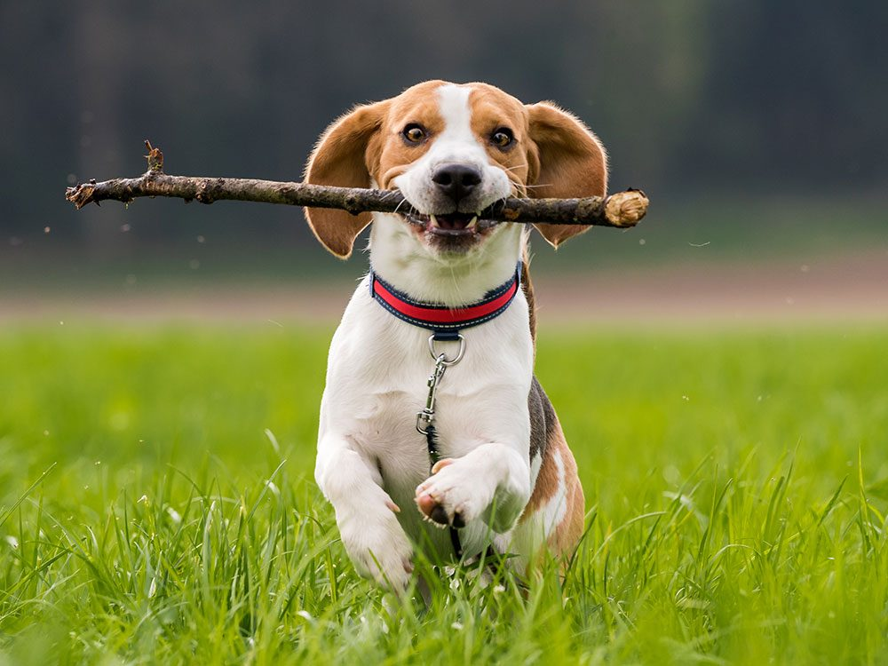 Health risks for pets - sticks