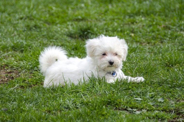 Cute Maltese puppy