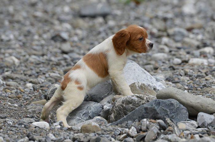 Puppy of epagneul breton - brittany dog