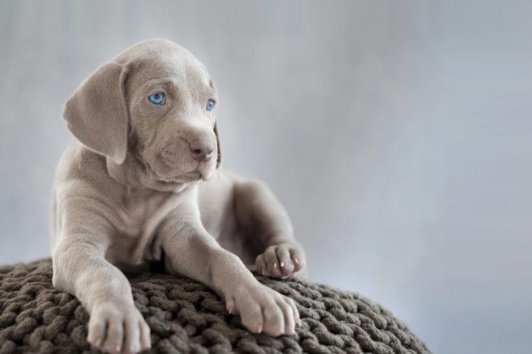 puppy of weimaraner sitting on grey cushion in grey light background