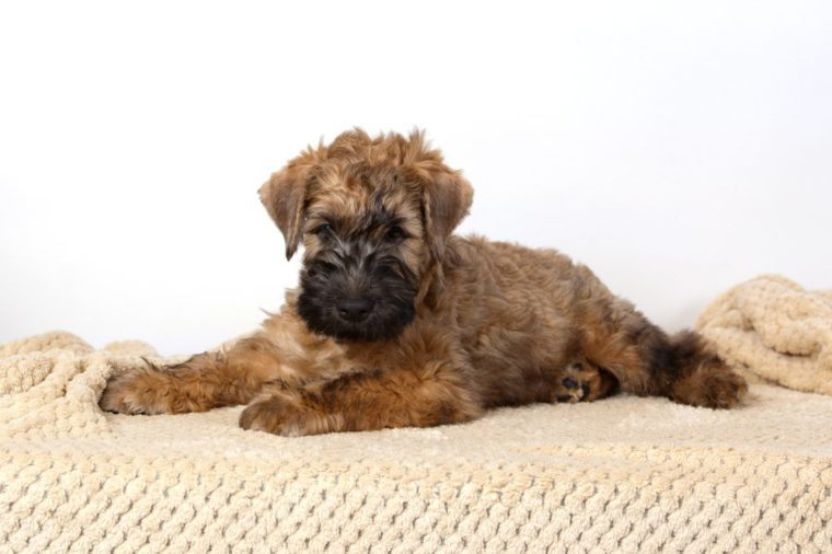 Irish Soft Coated Wheaten Terrier on white background