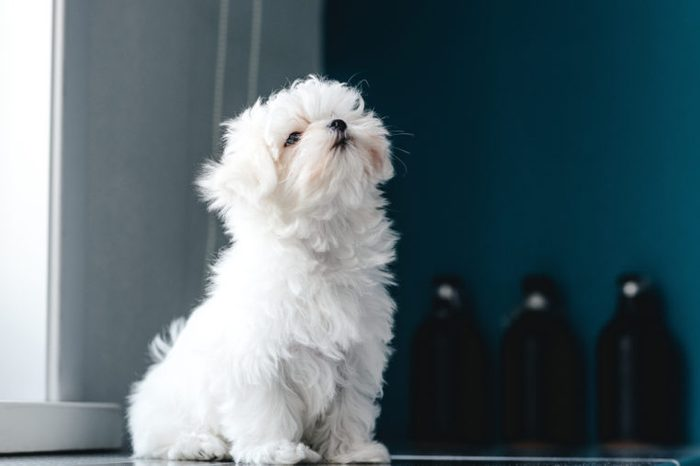 Portrait of a cute white long-haired Maltese. The puppy is 4 month old on the picture.